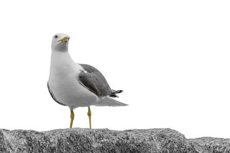 seagull leaning against a rock looking at the horizon very seriously