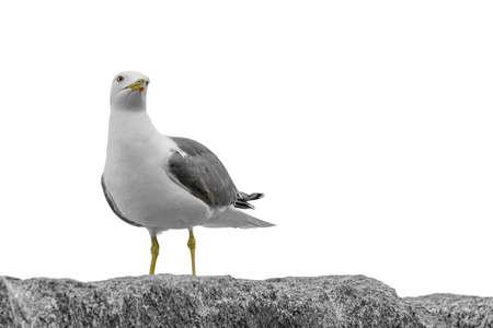 Mouette appuyé contre un rocher tout en regardant l & # 39 ; horizon très droit Banque d'images - 99396422