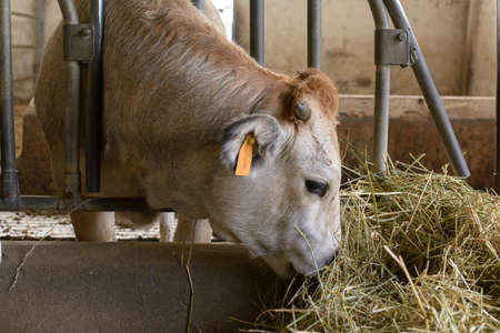tender Piedmontese breed cow, with ear mark on the ear, with the muzzle between a steel bar and the other, eating hay, in its enclosure, in a stable