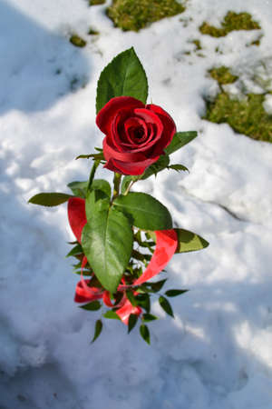 red rose symbol of love, given on Valentine's day, tied with a red bow and grown in a snow-covered garden Banque d'images