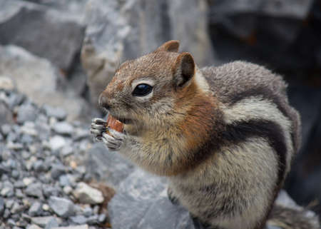 stockpile: closeup of chipmunk holding a and eating an almond with rocks in the back