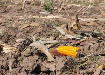dearth: half a yellow corncob on a harvested corn field