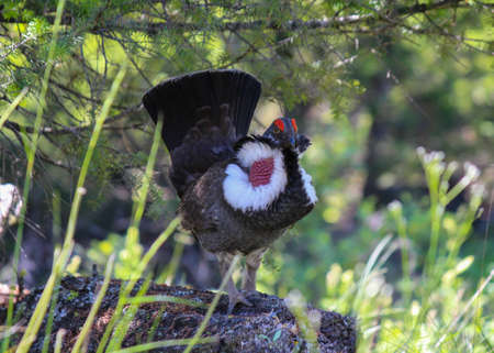 grouse: closeup of a male dusky grouse in nature attracting female by displaying red throat