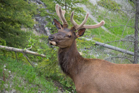 whitetail: canadian white-tail deer antlered with head up and green background