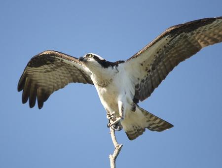 osprey: Osprey landing