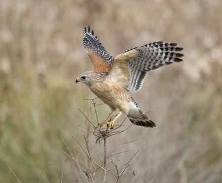 shouldered: Red-shouldered hawk