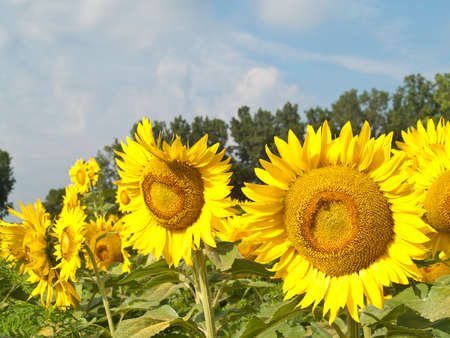 sunflowers in a field on a summer day