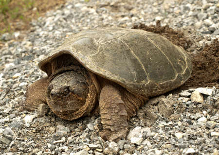 common snapping turtle, chelydra s  serpentina, laying its eggs