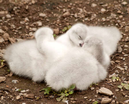 sleeping baby swans photo