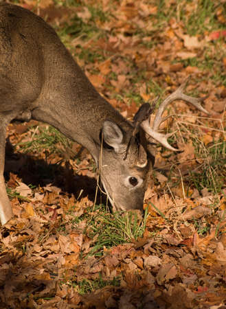 male white-tailed deer eating in autumn Stock Photo