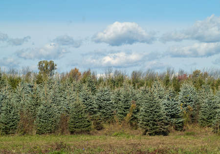 evergreen trees being grown on a farm for the holiday season