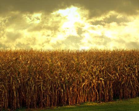 cornfield at sundown scene