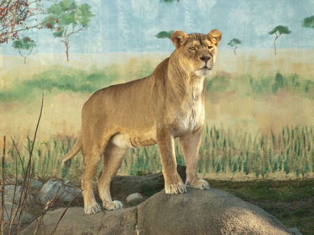 female lioness, panthera leo, in captivity, standing on a rock