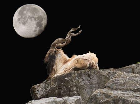 male markhor, capra falconeri, an endangered species and moon scene