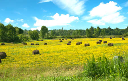 field of golden wildflowers with hay bales Stock Photo