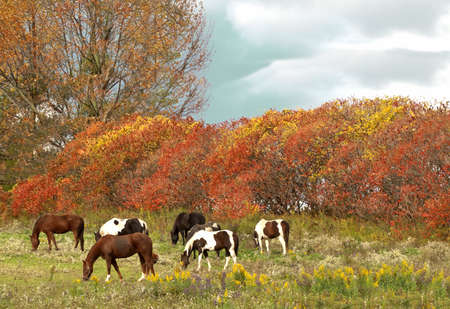 horses grazing in a field in autumn scene Stock Photo