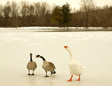 territorial: geese and snow goose acting territorial Stock Photo
