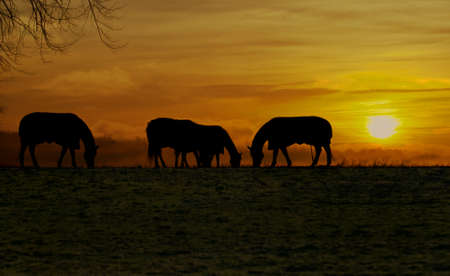 horses grazing silhouetted by the evening sun