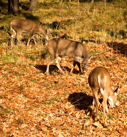 white-tailed deer grazing in autumn