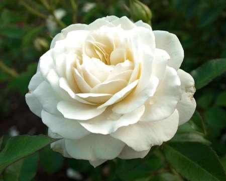 single white rose in garden