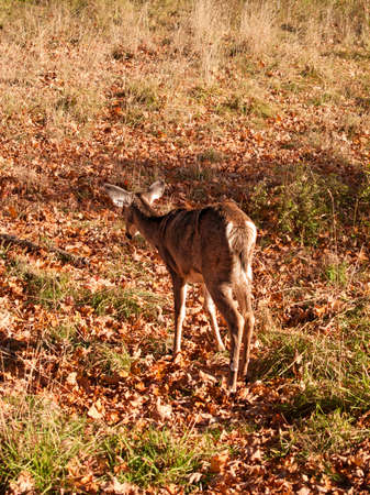 lone female white-tailed deer walking through a field in autumn Stock Photo