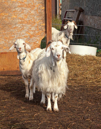 billy: three adorable and curious goats outside their barn