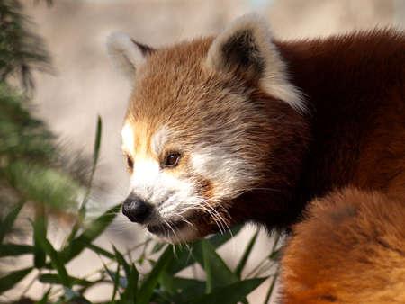 red panda, Ailurus fulgens, at the rosemond gifford zoo in syracuse, new york   Stock Photo