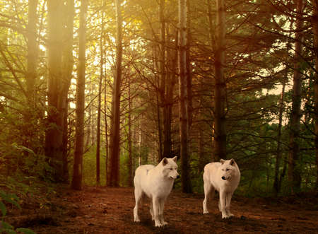 endangered species: two beautiful grey wolves in a forest