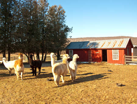 alpaca farm in rural upstate New York