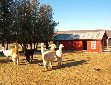 alpaca farm in rural upstate New York