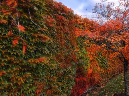 ivy changing colors for fall covering a garden wall Stock Photo
