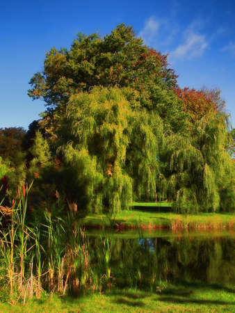 beautiful willow trees by a pond in early autumn