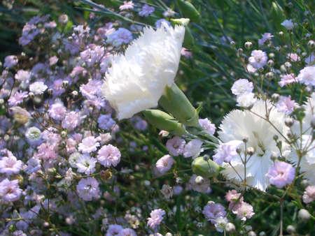 white carnations in babys breath Stok Fotoğraf