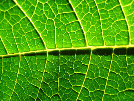 close up of the texture of a poinsettia leaf. Banco de Imagens