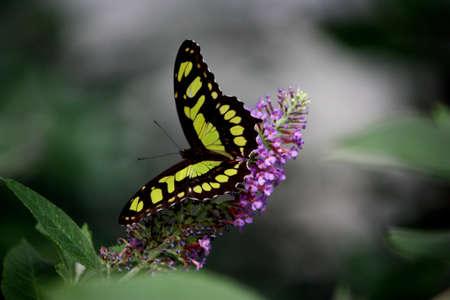 singular: Singular Tiger Swallowtail butterfly