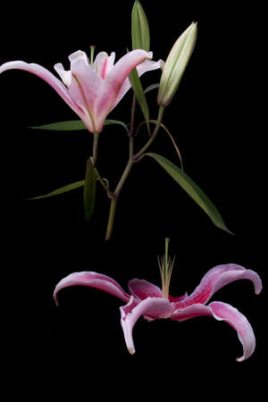 stargaze: Spring Elegance