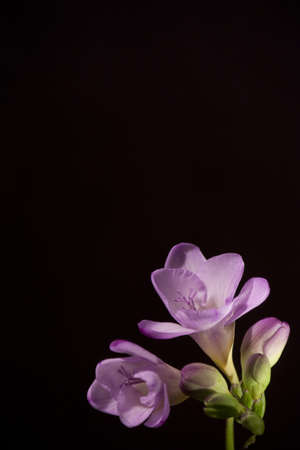 contrasted: Delicate light lavender Freesia blossoms contrasted with lighting against a black background