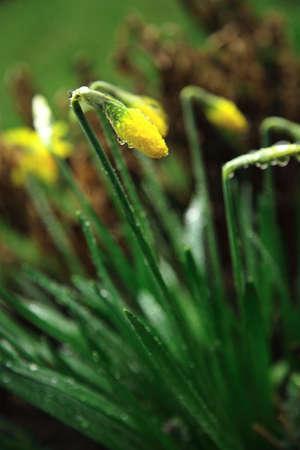 Daffodil in the rain photo