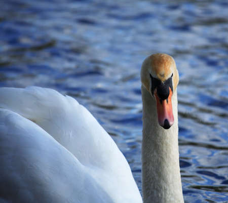 White swan facing forwards photo