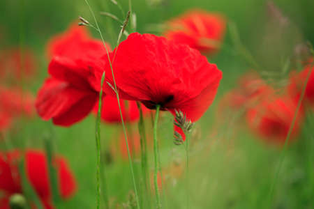 Field of vibrant red poppies blowing in the breeze Stock Photo - 679787