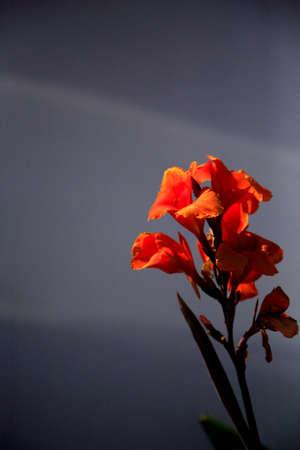 shaft: Vivid orange Gladioli against a wall in a shaft of sunlight