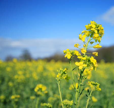 Rapeseed flower against a yellow field photo