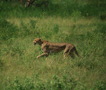 Cheetah running through the grass, Samburu National Park, Africa photo