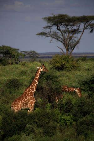 Two giraffe feeding in the Masai Mara National Reserve photo