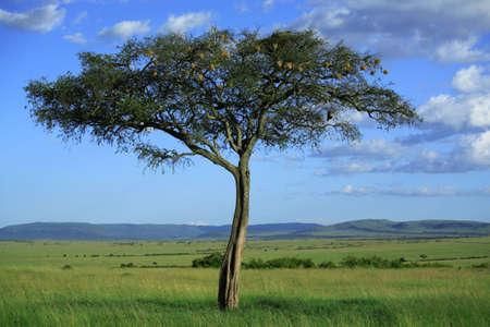 singular: Singular tree in the Masai Mara National Reserve, Kenya, Africa
