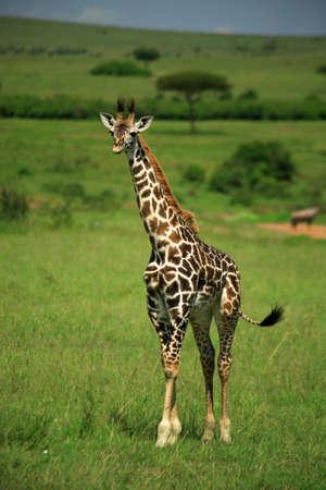 Giraffe strolling through the Masai Mara National Reserve photo