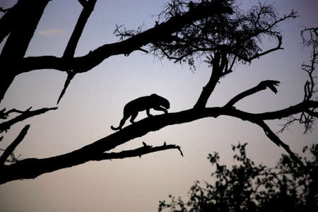 Silhouetted Leopard in a tree at dusk