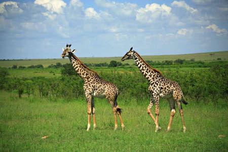 Two giraffe strolling across Masai Mara National Reserve Kenya Africa