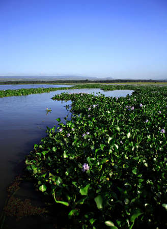 lake naivasha: Water Hyacinth on Lake Naivasha Kenya Africa Stock Photo