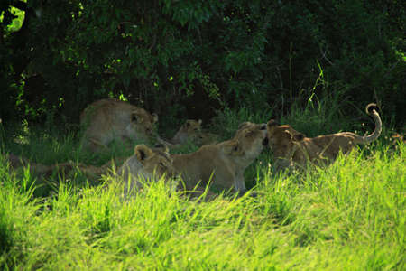 tending: Lioness tending her cubs in the shade of a tree Kenya Africa